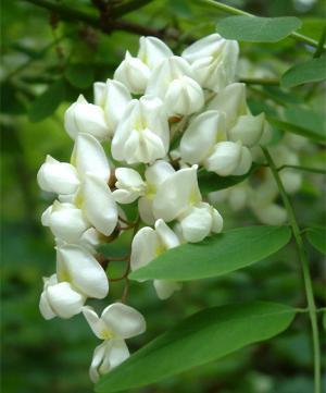 Акация белая (цветы) (50г)